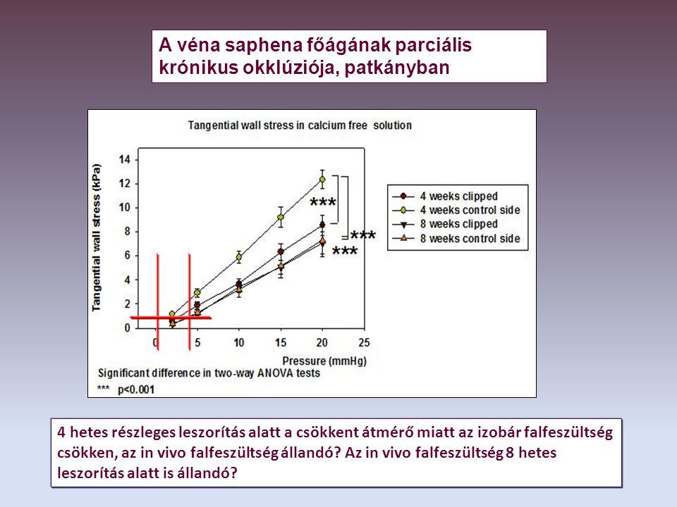 4 hetes részleges leszorítás alatt a csökkent átmérő miatt az izobár falfeszültség csökken, az in vivo falfeszültség állandó.