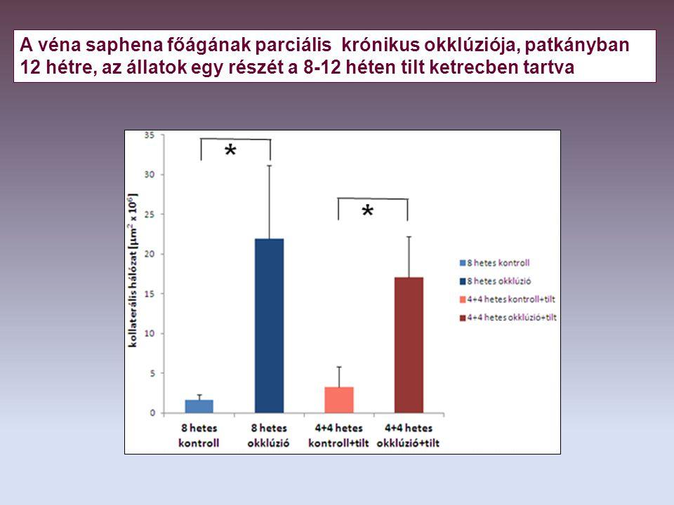 A véna saphena főágának parciális krónikus okklúziója, patkányban 12 hétre, az állatok egy részét a 8-12 héten tilt ketrecben tartva