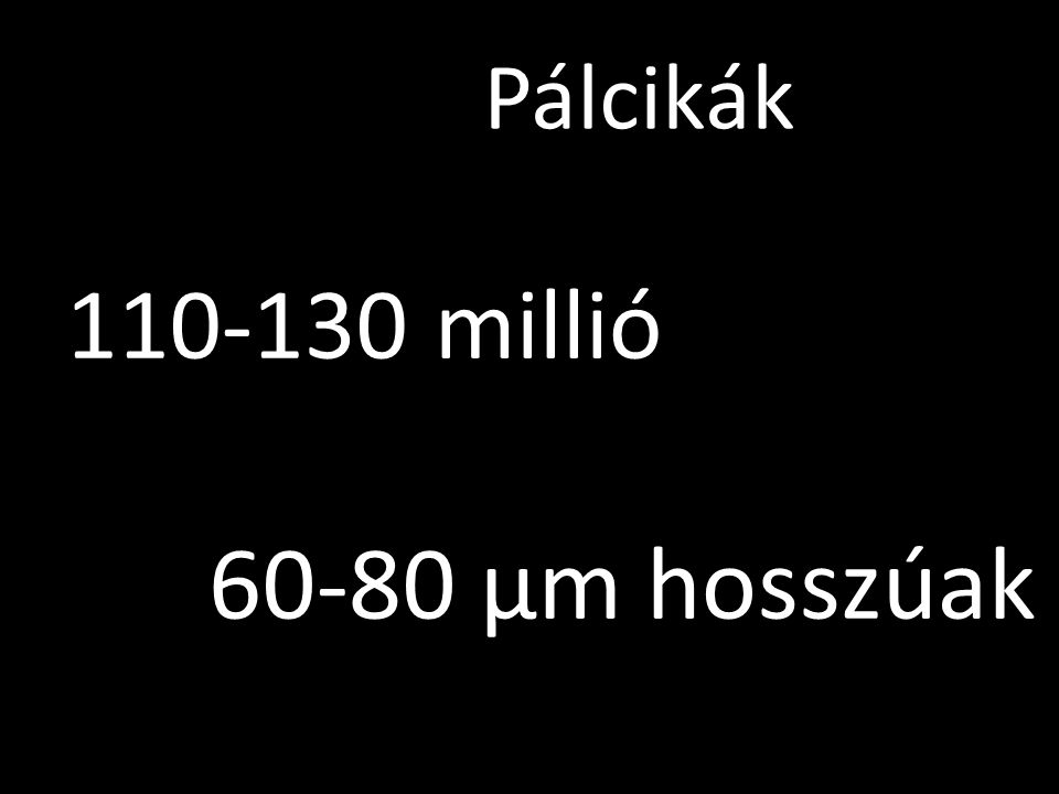 Pálcikák 60-80 µm hosszúak 110-130 millió