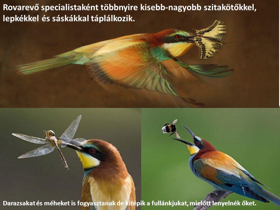 Rovarevő specialistaként többnyire kisebb-nagyobb szitakötőkkel, lepkékkel és sáskákkal táplálkozik.