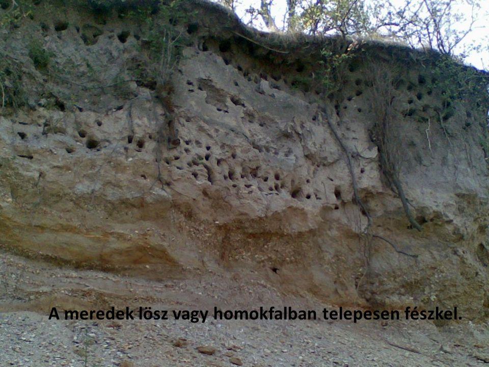 A meredek lösz vagy homokfalban telepesen fészkel.