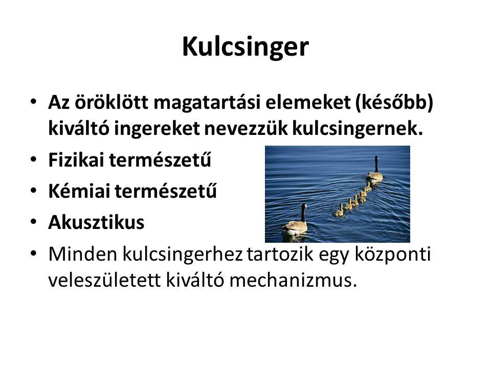 Kulcsinger • Az öröklött magatartási elemeket (később) kiváltó ingereket nevezzük kulcsingernek. • Fizikai természetű • Kémiai természetű • Akusztikus