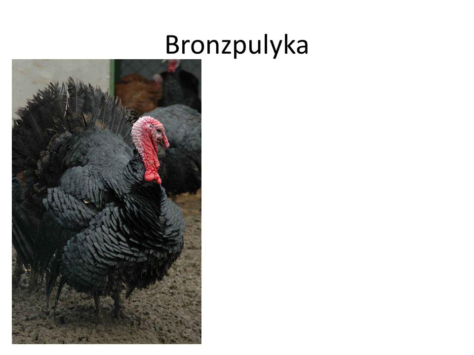 Bronzpulyka