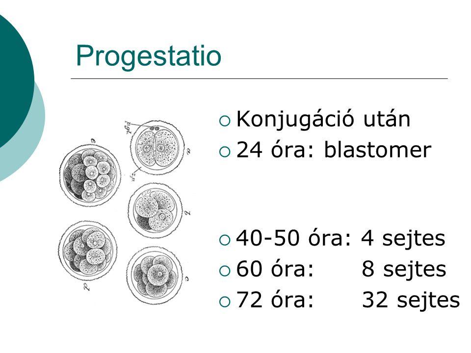 Progestatio  Konjugáció után  24 óra: blastomer  40-50 óra: 4 sejtes  60 óra: 8 sejtes  72 óra: 32 sejtes