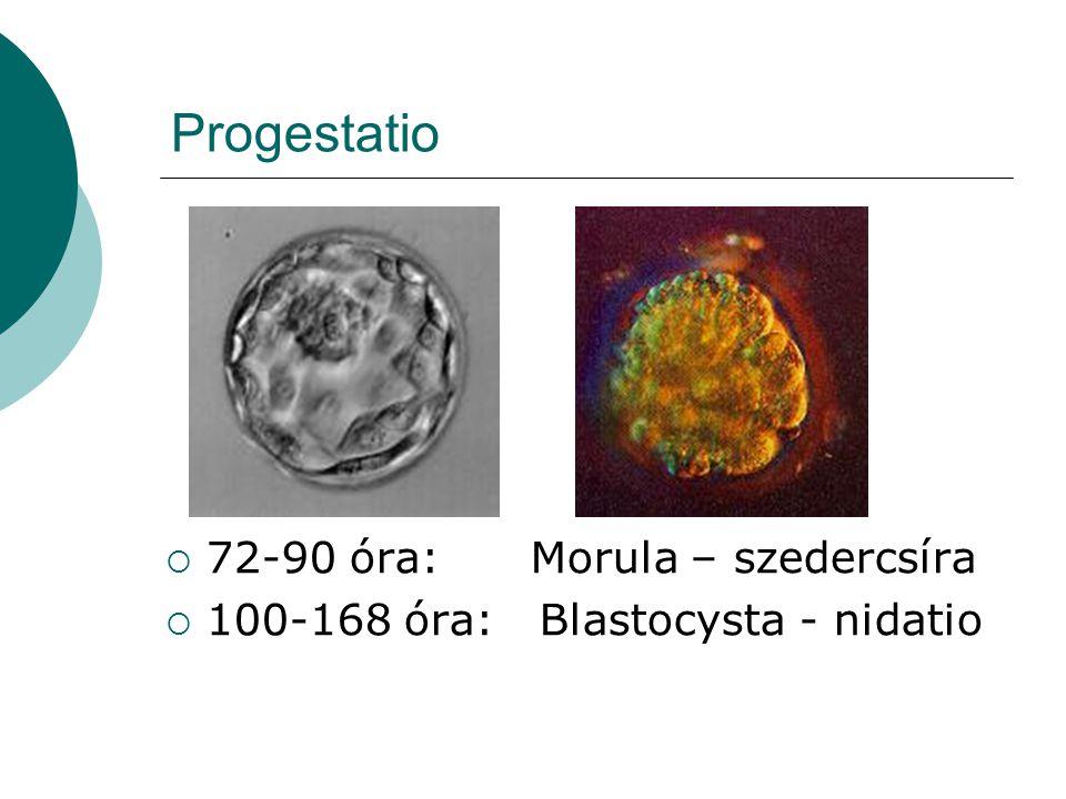 Progestatio  72-90 óra: Morula – szedercsíra  100-168 óra: Blastocysta - nidatio