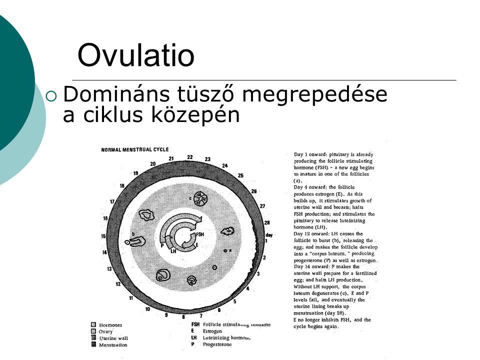 Ovulatio  Domináns tüsző megrepedése a ciklus közepén