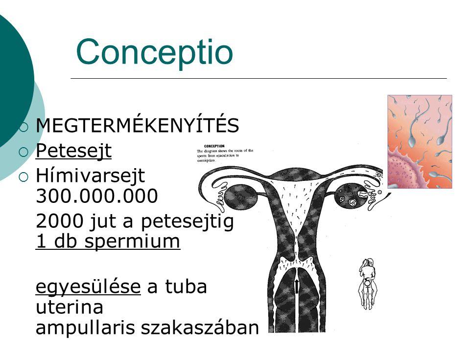 Conceptio  MEGTERMÉKENYÍTÉS  Petesejt  Hímivarsejt 300.000.000 2000 jut a petesejtig 1 db spermium egyesülése a tuba uterina ampullaris szakaszában
