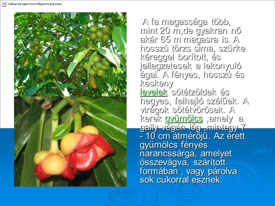 A fa magassága több, mint 20 m,de gyakran nő akár 65 m magasra is. A hosszú törzs sima, szürke kéreggel borított, és jellegzetesek a lekonyuló ágai. A