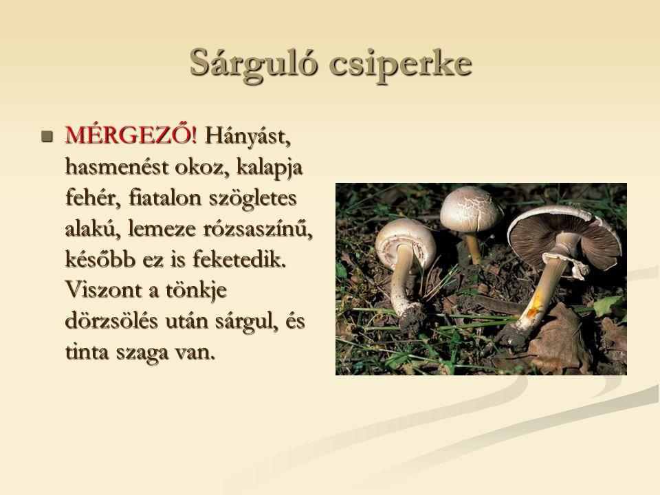 Nyárfa érdestinóru  Ehető.idősebb hazai nyárfák alatt fordul elő.