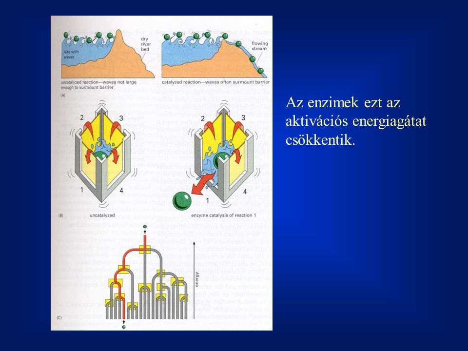 v max3 = k 2 E 03 v max2 = k 2 E 02 v max1 = k 2 E 01 A kinetikai paraméterek értelmezése: v max : arányos a jelenlévő enzim mennyiségével, lényegében az enzimaktivitás mérőszáma, az enzim mennyiségéről ad információt.