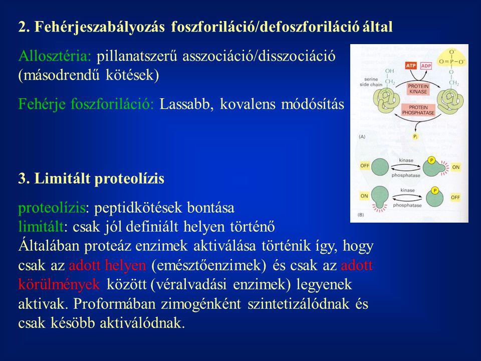 2. Fehérjeszabályozás foszforiláció/defoszforiláció által Allosztéria: pillanatszerű asszociáció/disszociáció (másodrendű kötések) Fehérje foszforilác
