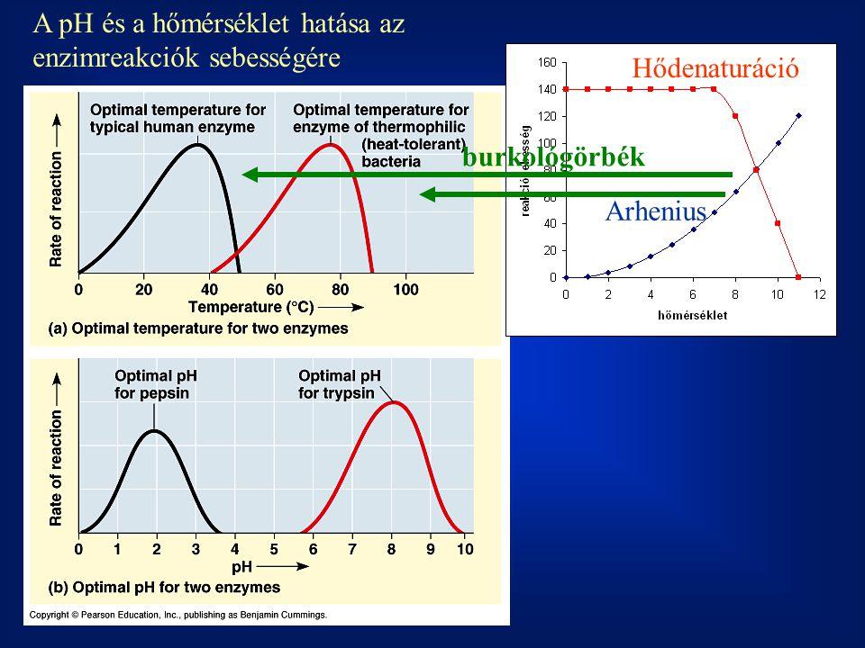 Arhenius Hődenaturáció burkológörbék A pH és a hőmérséklet hatása az enzimreakciók sebességére