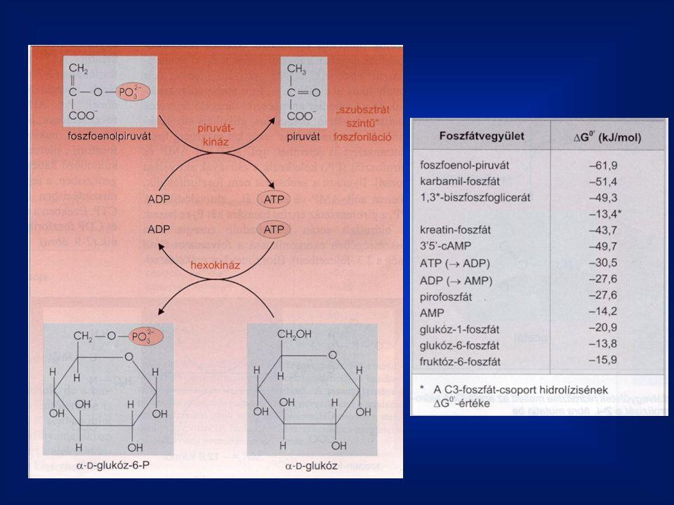 Orientációs hatás a., az enzim megköti és pontosan orentálja egymáshoz a szubsztrátokat b., a szubstrát megkötésével az enzim átrendezi annak elektroneloszlását, részlegesen + és - részeket eredményezve.