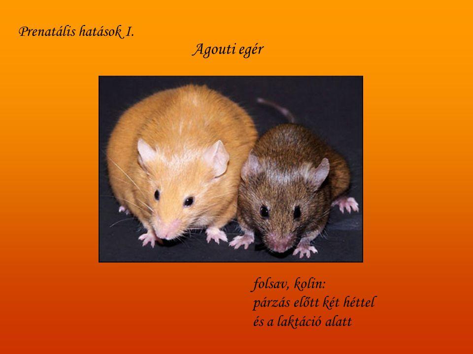 Agouti egér folsav, kolin: párzás előtt két héttel és a laktáció alatt Prenatális hatások I.