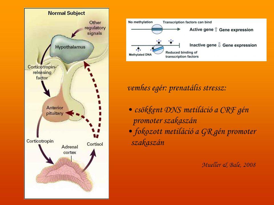 vemhes egér: prenatális stressz: • csökkent DNS metiláció a CRF gén promoter szakaszán • fokozott metiláció a GR gén promoter szakaszán Mueller & Bale