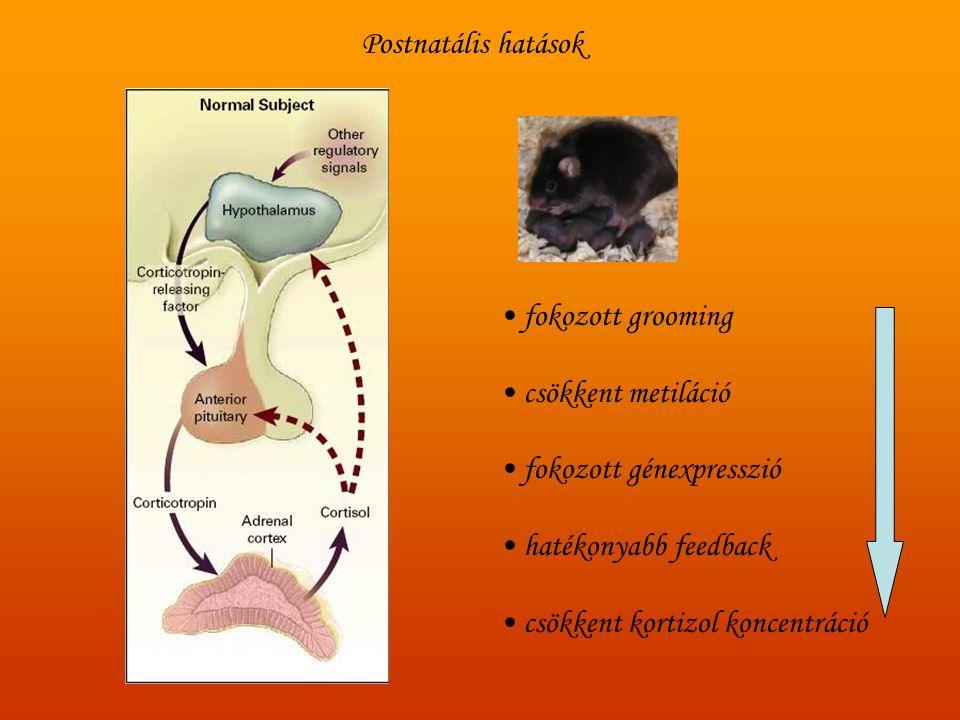 • fokozott grooming • csökkent metiláció • fokozott génexpresszió • hatékonyabb feedback • csökkent kortizol koncentráció Postnatális hatások