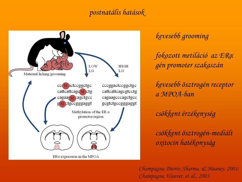 postnatális hatások kevesebb grooming fokozott metiláció az ERα gén promoter szakaszán kevesebb ösztrogén receptor a MPOA-ban csökkent érzékenység csö
