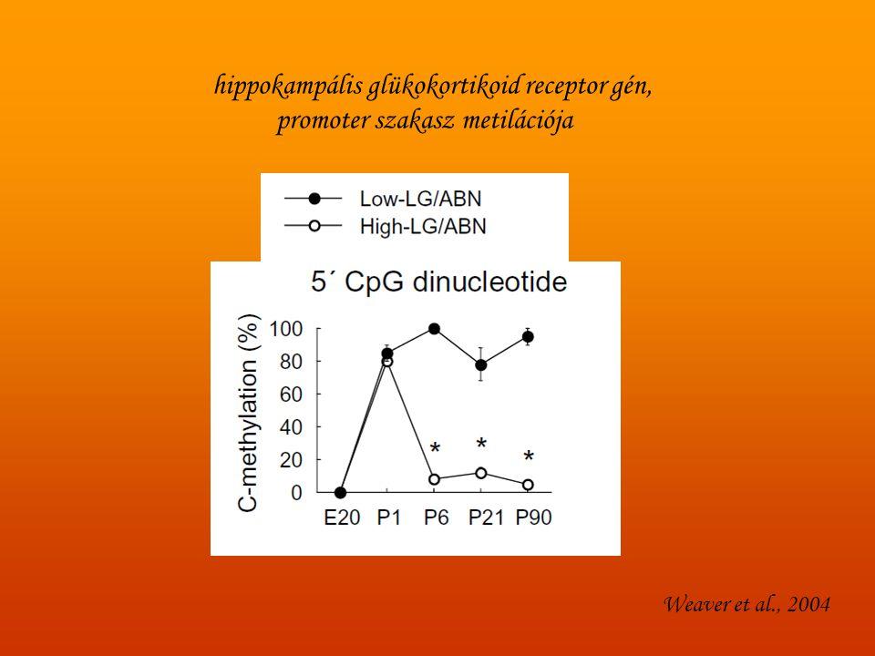 Weaver et al., 2004 hippokampális glükokortikoid receptor gén, promoter szakasz metilációja