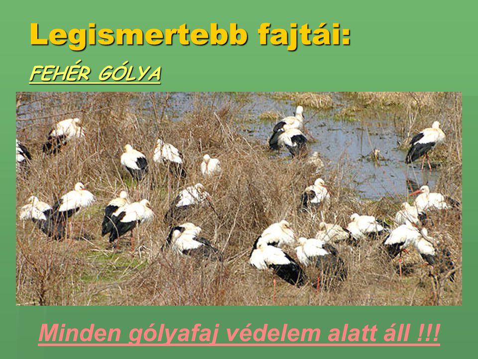 Legismertebb fajtái: FEHÉR GÓLYA Minden gólyafaj védelem alatt áll !!!