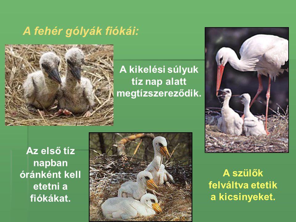 A fehér gólyák fiókái: A szülők felváltva etetik a kicsinyeket. Az első tíz napban óránként kell etetni a fiókákat. A kikelési súlyuk tíz nap alatt me