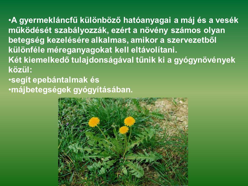 •A gyermekláncfű különböző hatóanyagai a máj és a vesék működését szabályozzák, ezért a növény számos olyan betegség kezelésére alkalmas, amikor a sze