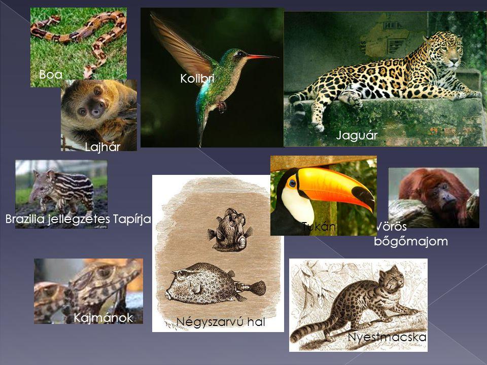 Boa Kolibri Jaguár Lajhár Brazilia jellegzetes Tapírja Kajmánok Vörös bőgőmajom Nyestmacska Négyszarvú hal Tukán