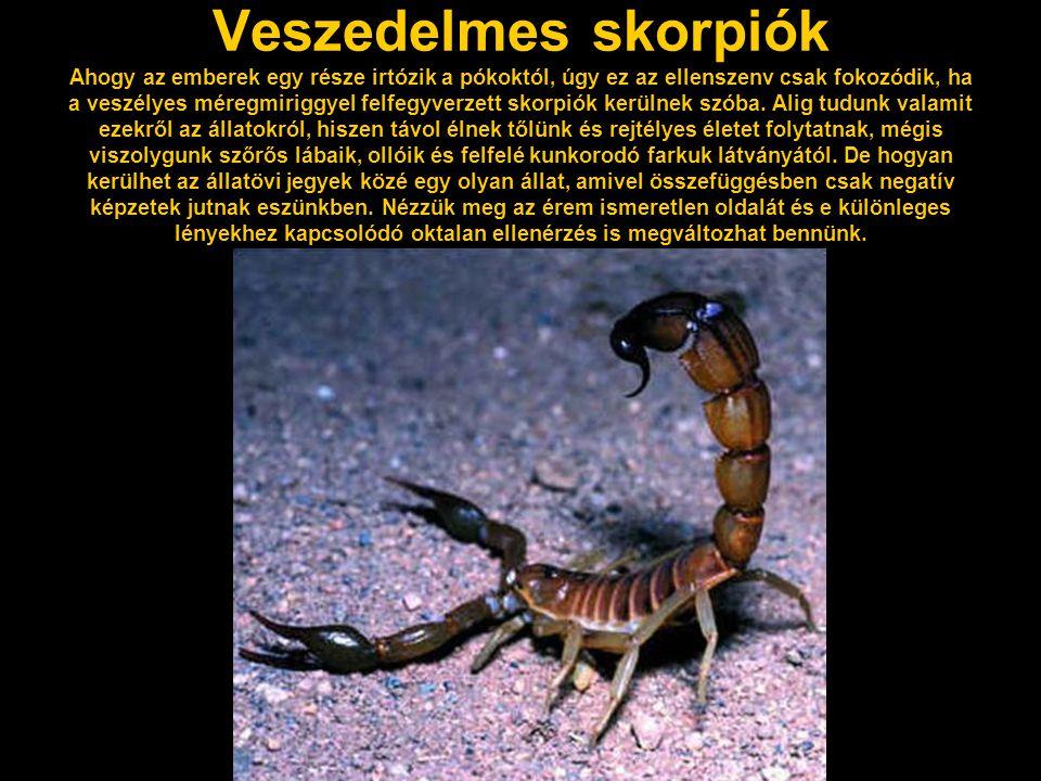 Veszedelmes skorpiók Ahogy az emberek egy része irtózik a pókoktól, úgy ez az ellenszenv csak fokozódik, ha a veszélyes méregmiriggyel felfegyverzett