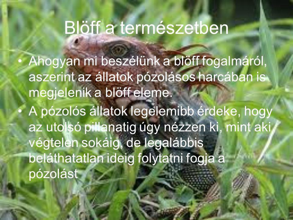 Blöff a természetben •Ahogyan mi beszélünk a blöff fogalmáról, aszerint az állatok pózolásos harcában is megjelenik a blöff eleme. •A pózolós állatok