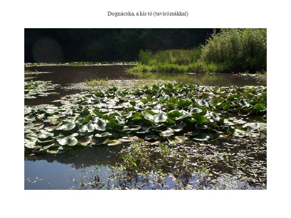 Dognácska, a kis tó (tavirózsákkal)