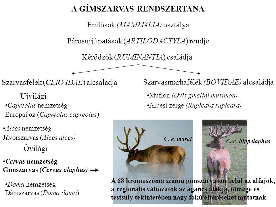 A GÍMSZARVAS RENDSZERTANA Emlősök (MAMMALIA) osztálya Párosujjú patások (ARTILODACTYLA) rendje Szarvasmarhafélék (BOVIDAE) alcsaládja •Muflon (Ovis gm