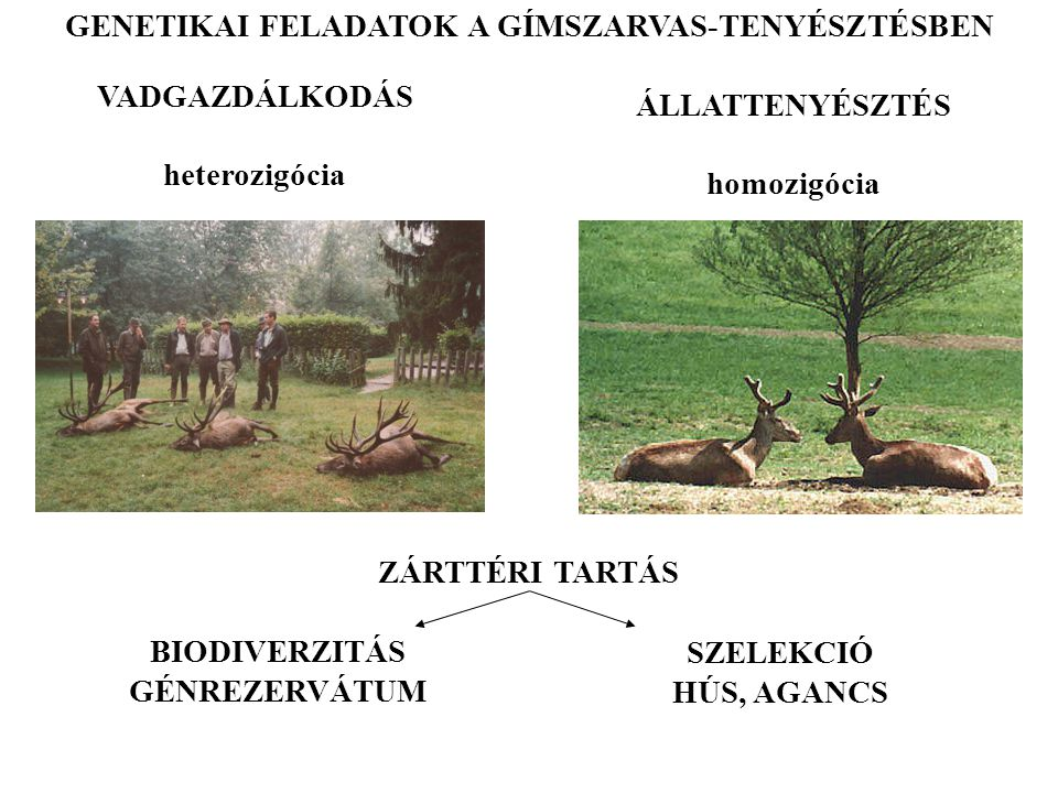 ZÁRTTÉRI TARTÁS ÁLLATTENYÉSZTÉS homozigócia VADGAZDÁLKODÁS heterozigócia BIODIVERZITÁS GÉNREZERVÁTUM SZELEKCIÓ HÚS, AGANCS GENETIKAI FELADATOK A GÍMSZ