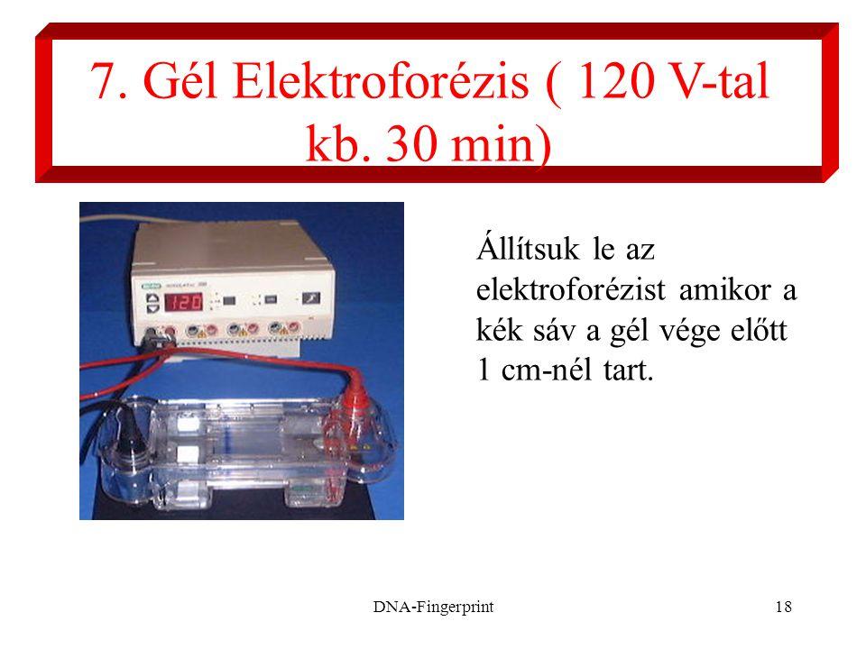 DNA-Fingerprint18 7. Gél Elektroforézis ( 120 V-tal kb. 30 min) Állítsuk le az elektroforézist amikor a kék sáv a gél vége előtt 1 cm-nél tart.