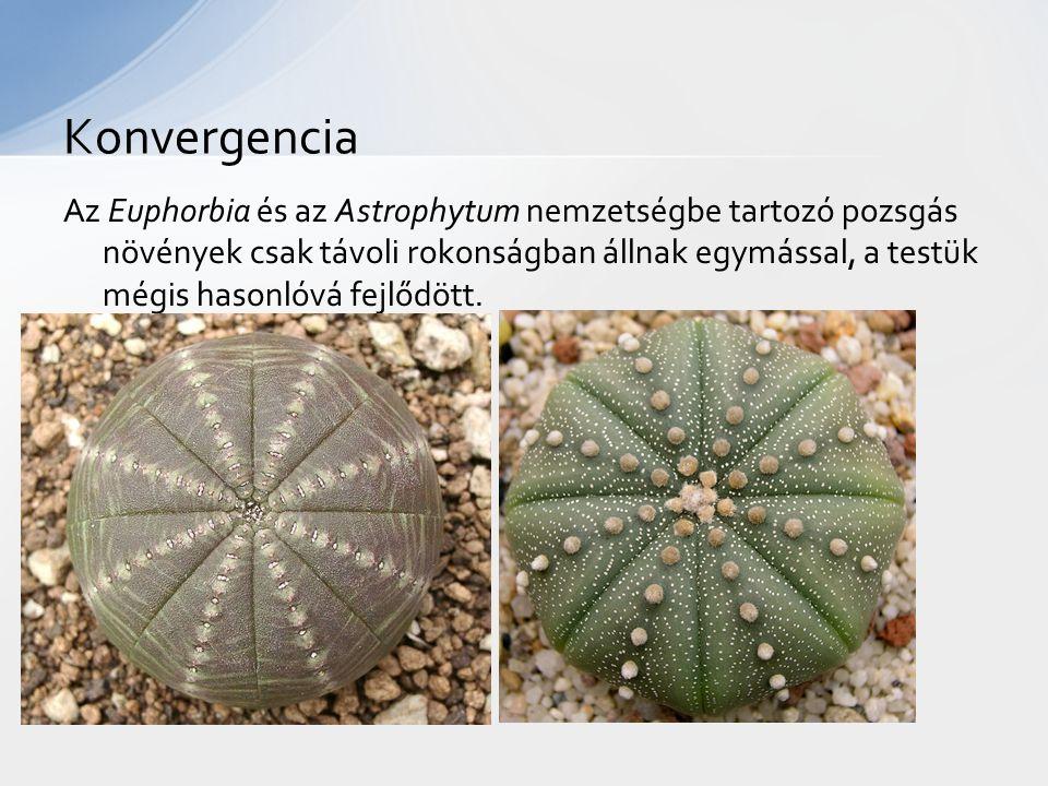 Az Euphorbia és az Astrophytum nemzetségbe tartozó pozsgás növények csak távoli rokonságban állnak egymással, a testük mégis hasonlóvá fejlődött. Konv