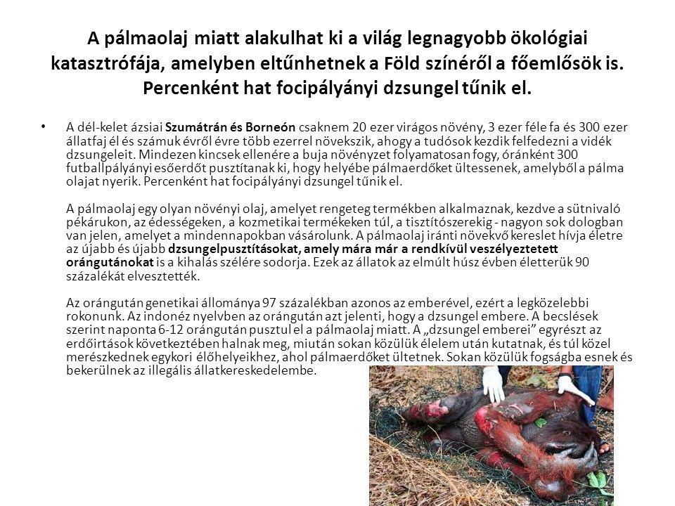 A pálmaolaj miatt alakulhat ki a világ legnagyobb ökológiai katasztrófája, amelyben eltűnhetnek a Föld színéről a főemlősök is.