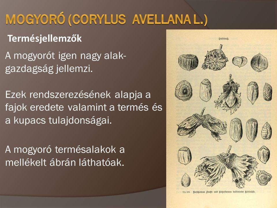 Termésjellemzők A mogyorót igen nagy alak- gazdagság jellemzi. Ezek rendszerezésének alapja a fajok eredete valamint a termés és a kupacs tulajdonsága