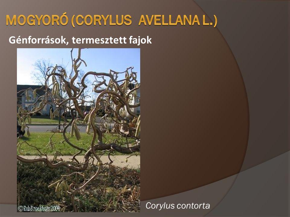 Génforrások, termesztett fajok Corylus contorta
