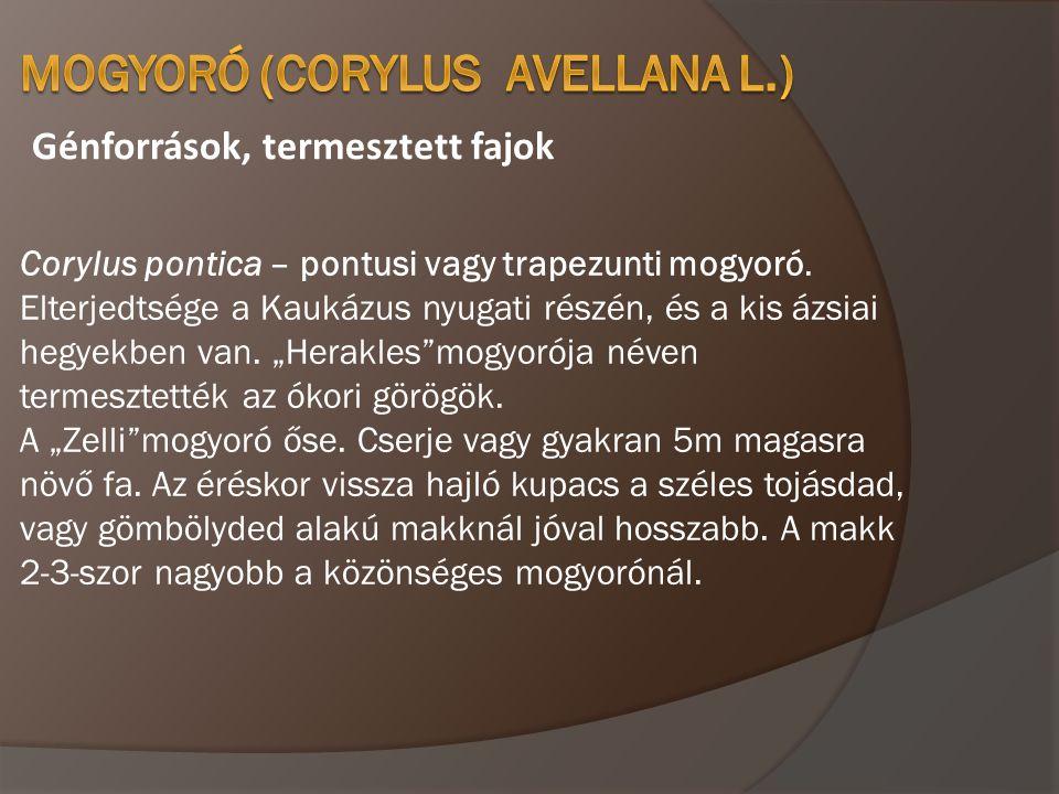 MOGYORÓFAJTÁK TONDA DI GIFFONI • Olasz fajta, • Növekedési erélye erős, • Önmeddő, porzói Nocchione, Mortarella, Tonda Gentille delle Langhe, Tonda Gentille Romana, • Termése középnagy ( 2,5 gramm ), • Gömb alakú, sötétbarna színű, • Magbélarány 45 – 47 %, • Magbél apró ( 1,2 gramm), gömb alakú, világos színű, • Melegebb éghajlatok fajtája, ahol bő termő.