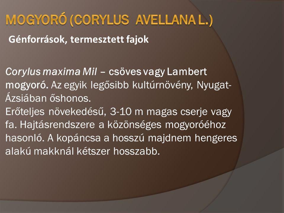 Génforrások, termesztett fajok Corylus maxima Mil – csöves vagy Lambert mogyoró. Az egyik legősibb kultúrnövény, Nyugat- Ázsiában őshonos. Erőteljes n