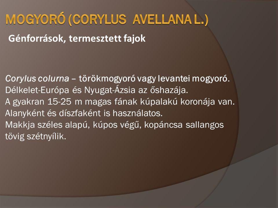Génforrások, termesztett fajok Corylus colurna – törökmogyoró vagy levantei mogyoró. Délkelet-Európa és Nyugat-Ázsia az őshazája. A gyakran 15-25 m ma