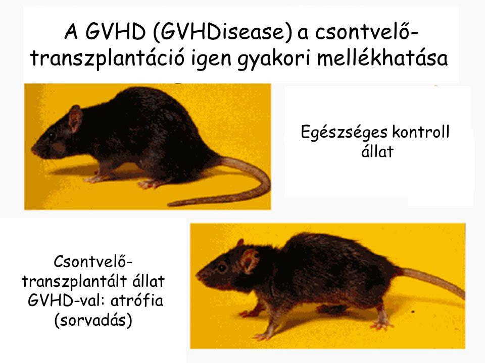18 Csontvelő- transzplantált állat GVHD-val: atrófia (sorvadás) Bone marrow transplantation Egészséges kontroll állat A GVHD (GVHDisease) a csontvelő-