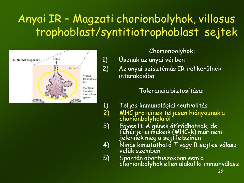 25 Anyai IR – Magzati chorionbolyhok, villosus trophoblast/syntitiotrophoblast sejtek Tolerancia biztosítása: 1)Teljes immunológiai neutralitás 2)MHC
