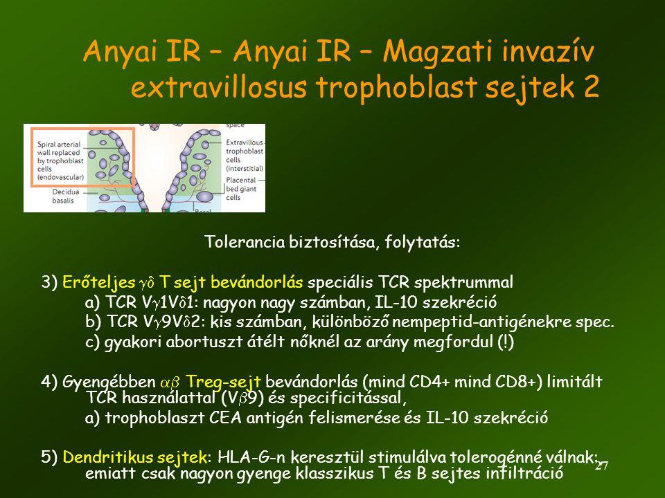 27 Anyai IR – Anyai IR – Magzati invazív extravillosus trophoblast sejtek 2 Tolerancia biztosítása, folytatás: 3) Erőteljes  T  sejt bevándorlás s