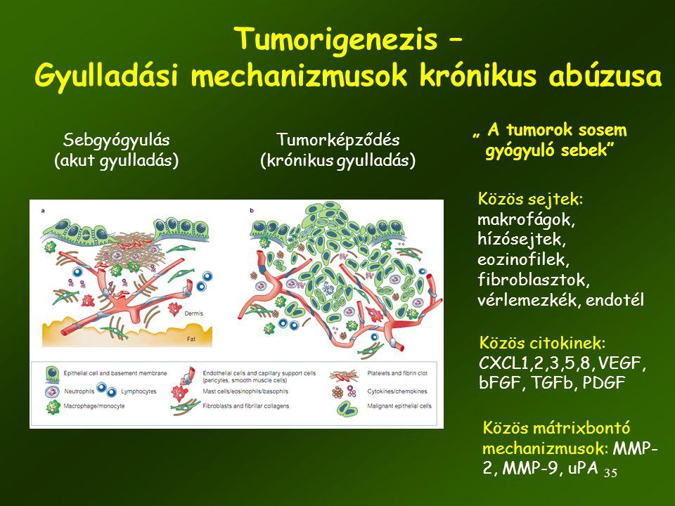 35 Tumorigenezis – Gyulladási mechanizmusok krónikus abúzusa Sebgyógyulás (akut gyulladás) Tumorképződés (krónikus gyulladás) Közös sejtek: makrofágok