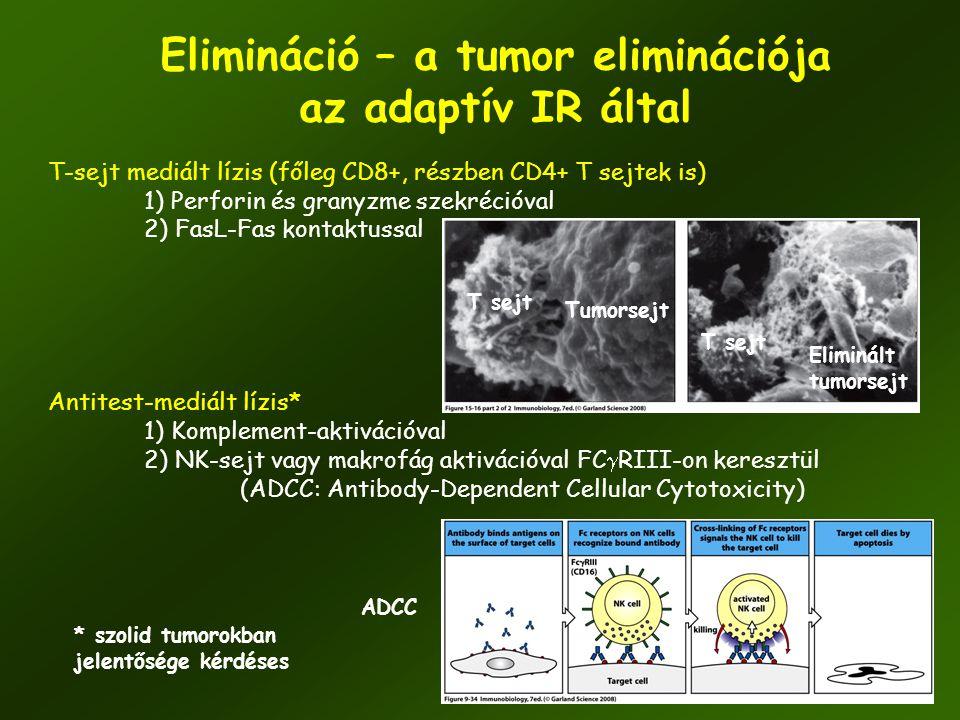 41 Elimináció – a tumor eliminációja az adaptív IR által T-sejt mediált lízis (főleg CD8+, részben CD4+ T sejtek is) 1) Perforin és granyzme szekréció