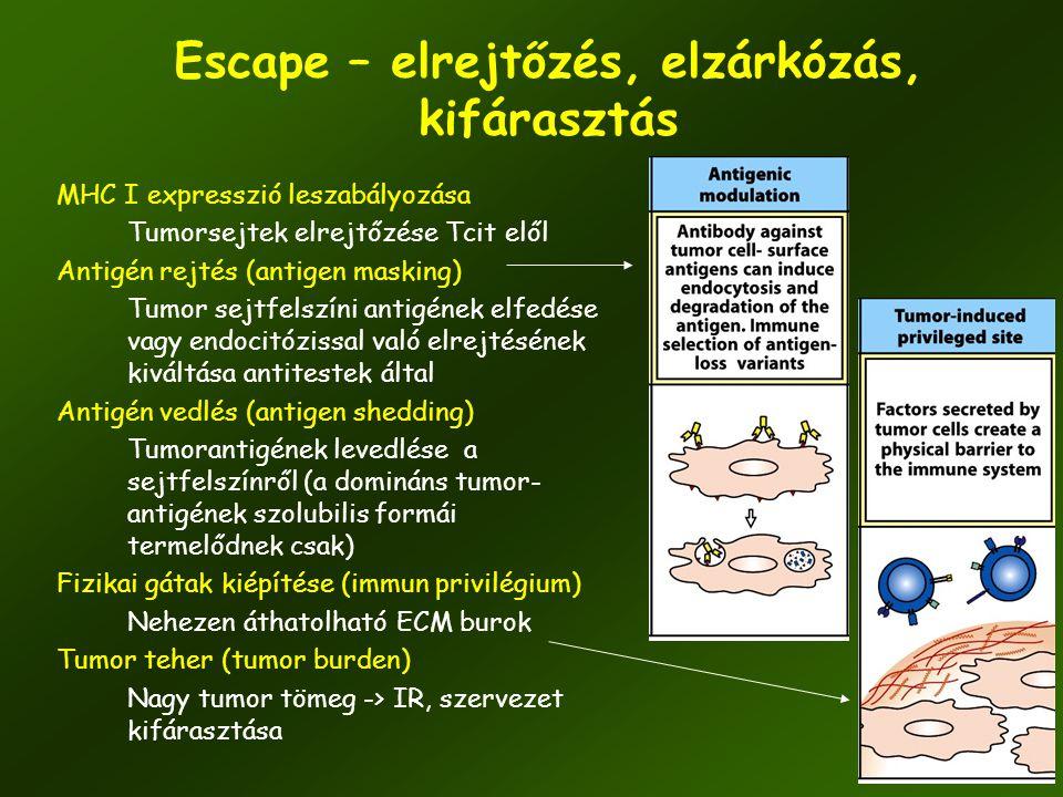 50 Escape – elrejtőzés, elzárkózás, kifárasztás MHC I expresszió leszabályozása Tumorsejtek elrejtőzése Tcit elől Antigén rejtés (antigen masking) Tum