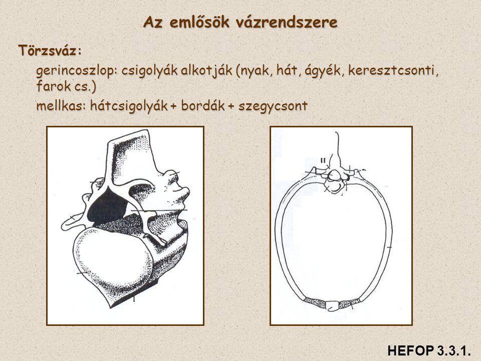 Törzsváz: gerincoszlop: csigolyák alkotják (nyak, hát, ágyék, keresztcsonti, farok cs.) mellkas: hátcsigolyák + bordák + szegycsont Az emlősök vázrend
