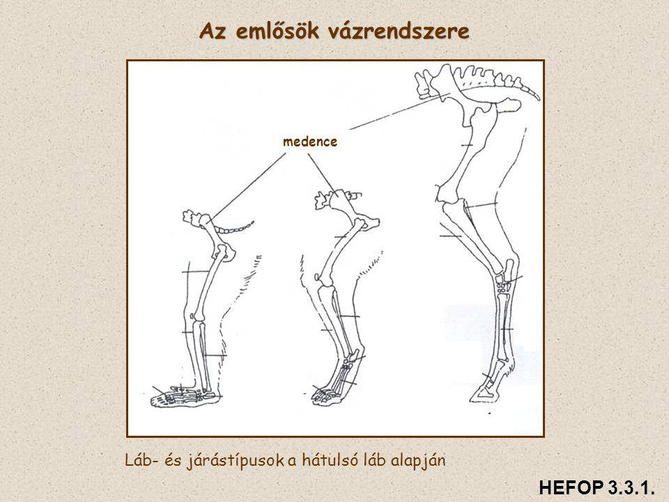 Az emlősök vázrendszere Láb- és járástípusok a hátulsó láb alapján medence HEFOP 3.3.1.