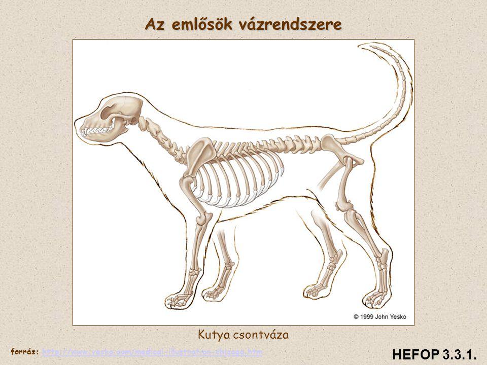 Az emlősök vázrendszere Kutya csontváza HEFOP 3.3.1. forrás: http://www.yesko.com/medical-illustration-chicago.htmhttp://www.yesko.com/medical-illustr