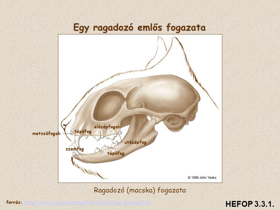 Egy ragadozó emlős fogazata Ragadozó (macska) fogazata HEFOP 3.3.1. tépőfog utózápfog tépőfog szemfog metszőfogak előzápfogak forrás: http://www.yesko