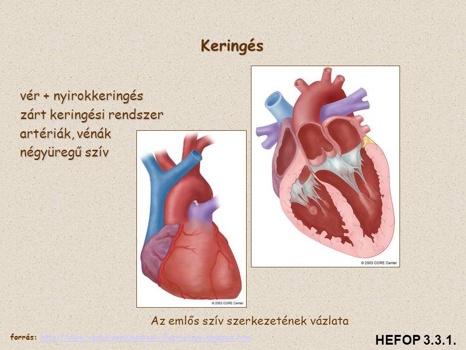 Keringés vér + nyirokkeringés zárt keringési rendszer artériák, vénák négyüregű szív Az emlős szív szerkezetének vázlata HEFOP 3.3.1. forrás: http://w